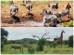 DayTreasure: Royal Madikwe - Madikwe Game Reserve Game Reserve, Wildlife, Spaces, Animals, Travel, Animales, Animaux, Animal Memes, Animal