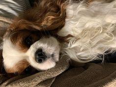 Cavalier King Charles Dog, King Charles Spaniel, Dogs, Animals, Animales, Animaux, Pet Dogs, Doggies, Animal