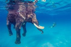 An Asian elephant named Rajan takes a dip in the Bay of Bengal off Andaman Islands, India. Rajan, who used to be a working elephant, was trained to swim to haul logs onto boats. When the practice was banned, supporters raised enough money for the elephant's retirement. He still takes a swim just for fun a few times a month and even allows divers to join him. (© National News/Zumja Press)