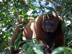 """""""O Grito do Bicho"""": Amazônia libera mais CO2 com caça a macacos grande..."""