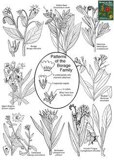 Boraginaceae: Borage Family Plant Identification Characteristics.