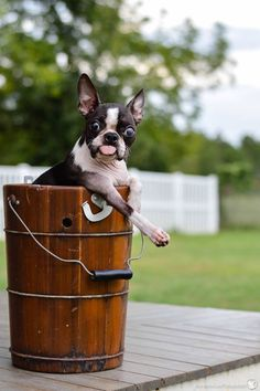 This little girl was beautiful...rescue a Boston! There's a local rescue somewhere close by, I'm sure!