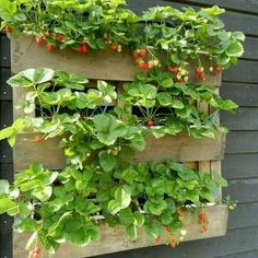 Strawberry Pallet Planter Vertical - What Is It - myhomeorganic (With images) Strawberry Planters, Strawberry Garden, Fruit Garden, Vegetable Garden, Garden Plants, Palette Deco, Herb Planters, Pallet Planters, Pallets Garden