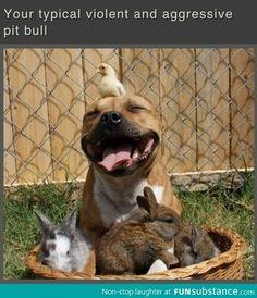 Violent Pit bull