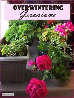 Geraniums - tips and methods Overwintering Geraniums - tips to keep your gorgeous Pelargoniums for the winter. Gardening Geraniums - tips and methods Overwintering Geraniums - tips to keep your gorgeous Pelargoniums for the winter. Geranium Care, Geranium Plant, Wild Geranium, Container Flowers, Container Plants, Container Gardening, Shade Perennials, Shade Plants, Overwintering Geraniums