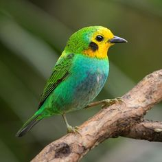 """74 Likes, 6 Comments - Guillermo Gómez F. (@memogofe_nature_photography) on Instagram: """"Endemic Multicoulored Tanager - Chlorochrysa nitidissima - Tangara Multicolor. #tangara #tanager…"""""""