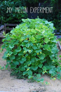 """my melons growing from my raised bed. so many blooms means lots of melons someday. how to garden on link."""