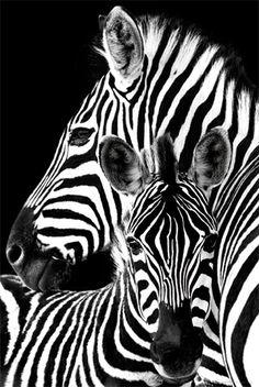 Zebra- Poster                                                                                                                                                                                 More