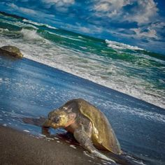 It's amazing watching the turtles come ashore, finding the perfect spot to lay their eggs. #costarica