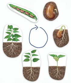 Good Morning Show!: Life cycle of a bean plant Good Morning Show!: Life cycle of a bean plant Preschool Science, Science Activities, Science Projects, Preschool Activities, Projects To Try, Life Cycle Craft, Art For Kids, Crafts For Kids, Planting For Kids