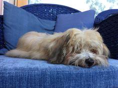 Sleeping bichon havanais