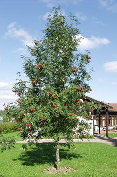 """Kotipihlaja """"Sorbus aucuparia""""   viherpihalle"""