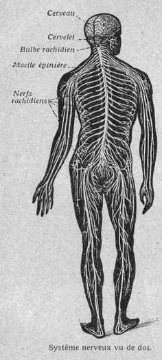 Système nerveux chez l Homme (vue de dos)