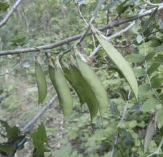 Pacific Pea Pods
