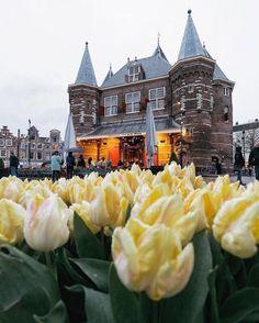 yellow, tulips, flowers, flowery