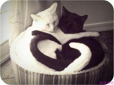 #couple #cat #kedi #katze #gato #gatto #cats #love #sleep #black #white #equiry #hug #yingyang