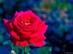 Bright Colors, Rose, Flowers, Plants, Bright Colours, Bright Color Schemes, Floral, Roses, Plant