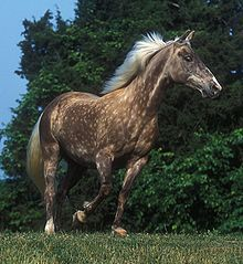 Dappled silver color of Rocky Mountain Horse - product of mutation in the PMEL17 gene and usually linked to EMCOA with eye cysts