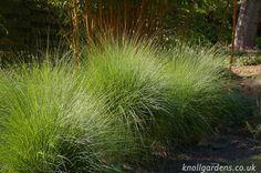 Eragrostis curvula - capim chorão