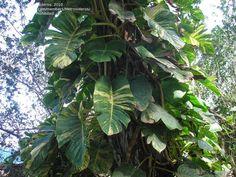 PlantFiles Pictures: Epipremnum Species, Centipede Tonga Vine, Devil's Ivy, Dragon-Tail Plant (Epipremnum aureum) by pirl Tonga, Ivy Plant Indoor, Epipremnum Pinnatum, Dragon Tail, Ivy Plants, Backyard Landscaping, Vines, Plant Leaves, Landscape