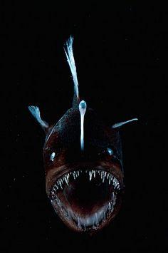 El Rape (Melanocetus johnsonii) un pez abisal  | AnimalesAcuaticos.NET