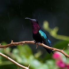 Purple Throated Carib (Eulampis jugularis)