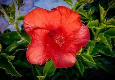 Hibiscus rosa-sinensis, known colloquially as Chinese hibiscus, China rose, Hawaiian hibiscus, and shoeblackplant, is a species of tropical hibiscus, a flowering plant in the Hibisceae tribe of the family Malvaceae, native to East Asia.  #hibiscus #flower #flowerphotography #flowersofinstagram #ig_flowers #flowerstagram #floweroftheday #naure #naturephotography #ig_nature #sandiego #ig_sandiego #lajolla #lajollacliffs #ig_lajolla #ig_california #ig_ca #vacation #birthdaytrip #travel…