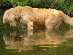 Beautiful Golden Retriever!! Beautiful image!!