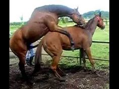 █❤█✔ Animal Mating Cute Miniatures Horses Running And Mating In Love