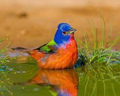 Did you know Painted Buntings travel to Arizona and northwestern Mexico to molt before migrating to Central America? Nicobar Pigeon, Lilac Breasted Roller, Painted Bunting, Bird Types, Audubon Society, Arizona Travel, Wonderful Picture, Bird Pictures, Exotic Birds