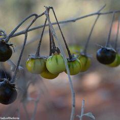 Fruits of Solanum (douglasii I think), these little guys were everywhere in Sedona. They had such a broad range of color, there were even yellow and orange ones. #fruit #fruits #fall #autumn  #naturelovers #naturesbeauty  #instanature #sedona #sedonaaz #az #azlove #arizona #arizonalife #arizonalove #iamabotanist #botany #botanical  #naturelovers #naturesbeauty  #instanature #green #black