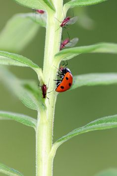 Lady bugs are great gardening helpers because they eat aphids, which can suck the life out of your plants