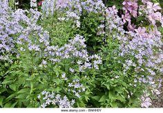 aanwezig campanula lactiflora -