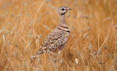 Double-banded Courser,S AfricabyIan White