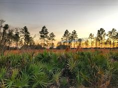 Hike through a Florida palmetto with patch. #travel #TBIN #LoveFL
