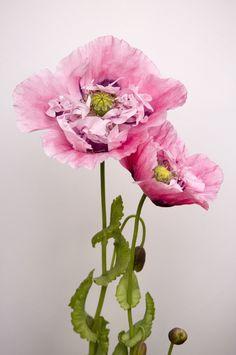 Poppy   by brianrosshaslam