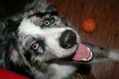 An Aussie and his ball. Australian Shepherds, Aussies, Puppy Love, Doggies, Husky, Best Friends, Pets, Animals, Red Tri Australian Shepherd