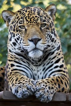 tigersandcompany:  Jaguar (by Joe_Copalman)