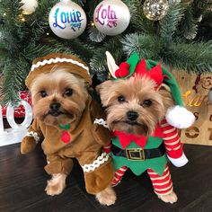 The Popular Pet and Lap Dog: Yorkshire Terrier - Champion Dogs Yorky Terrier, Yorshire Terrier, Perro Shih Tzu, Shih Tzu Dog, Shih Tzus, Christmas Animals, Christmas Dog, Chien Yorkshire Terrier, Cute Puppies