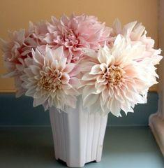 Pale pink dahlias