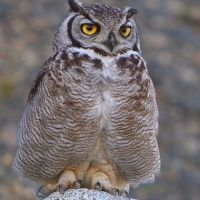 Owl Gallery: Species: Magellan Horned Owl (Bubo magellanicus) - The Owl Pages