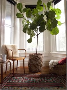 Falling for the Fiddleleaf Fig