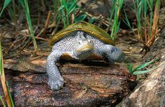 The Diamondback Terrapin is Maryland's state reptile and the mascot of the University of Maryland! GO TERPS! #AnimaloftheWeek