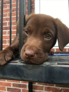 Chocolate lab puppy cute
