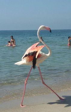 Poetto, lo spettacolo del fenicottero che passeggia in riva al mare