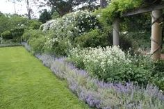 Image result for nepeta plant