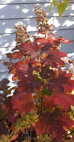 Oakleaf hydrangea is a shrub that shines in several seasons