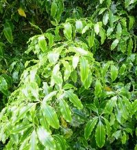 Pittosporum eugenioides. Lemonwood, Tarata Garden Hedges, Garden Plants, Small Trees, Back Gardens, Native Plants, Shrubs, Health Benefits, Natural Remedies, Tropical