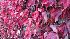 Voglia di Canada (tanta)... - Montenero - Livorno  #livorno #toscana #tuscany #tuscanypeople #volgolivorno #volgoitalia #volgotoscana #igers #igerslivorno #igerstoscana #igersitalia #perlestradedellatoscana #vivolivorno #vivotoscana #toscana_in #natura #nature #instalike #instalife #instamoment #l4l #like4like #likeforlike #foglie #red #rosso
