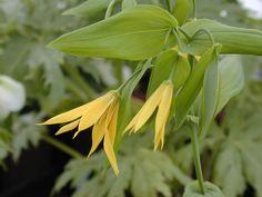 uvularia grandiflora, shade perennial
